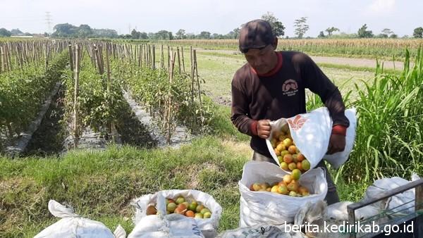 Harga Jual Tinggi, Petani Tomat Tersenyum Ceria